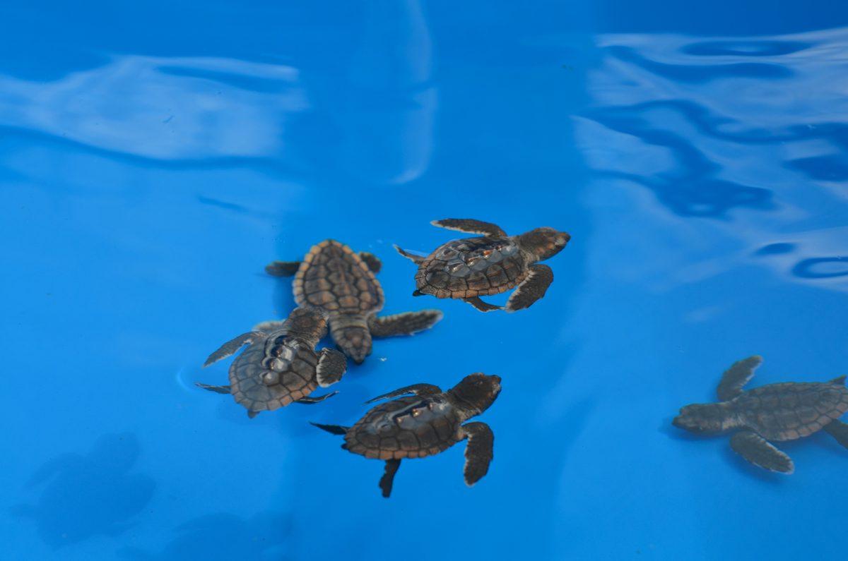 baby sea turtle rescue