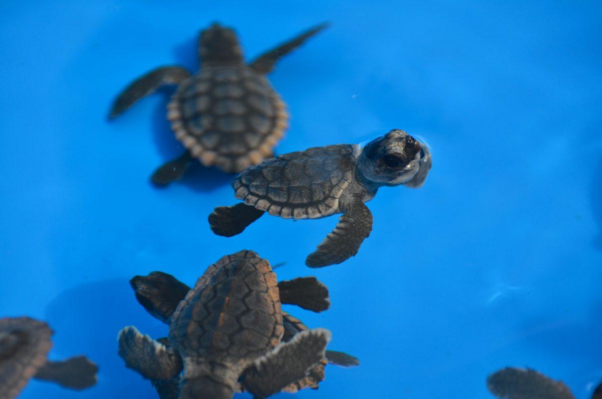cute baby sea turtles