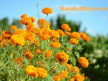 How to Make Marigold Tea 4