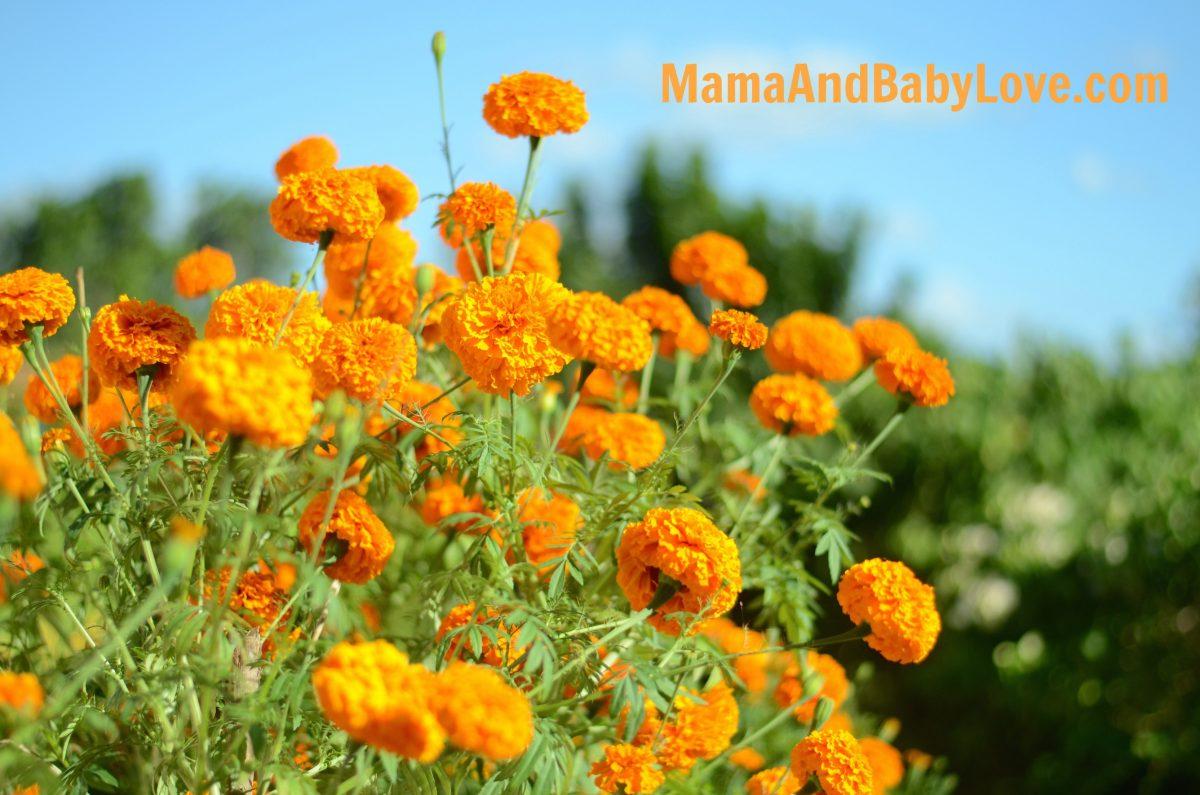 How to Make Marigold Tea 4